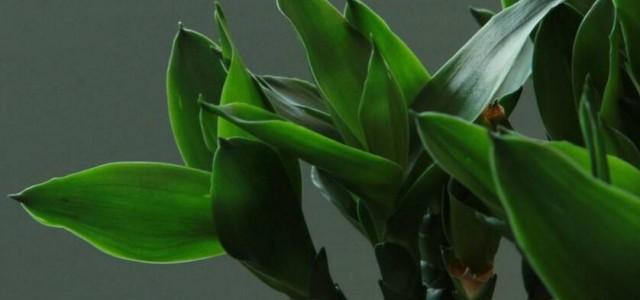 水养富贵竹怎么养,温度合适/勤施肥最关键