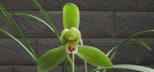 兰花发芽和生长是几月
