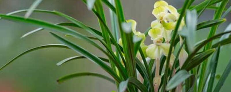 兰花叶子黄是怎么回事