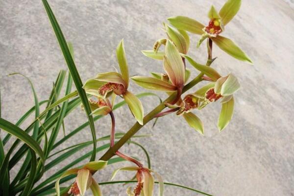 兰花浇水方法,不同环境不同浇水量(光照温度)