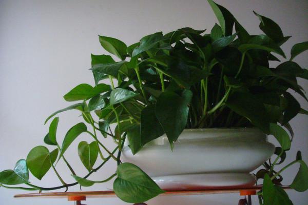 绿萝为什么会烂根,温度过低/水肥不当/出现病虫害