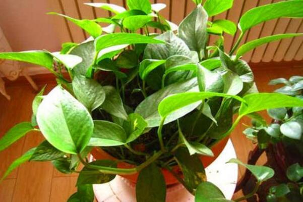 绿萝叶子卷曲怎么处理,控制温度以及光照是关键