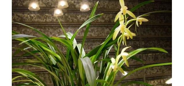 蘭花葉子發黃怎么辦,4種原因及辦法教你挽救葉子發黃