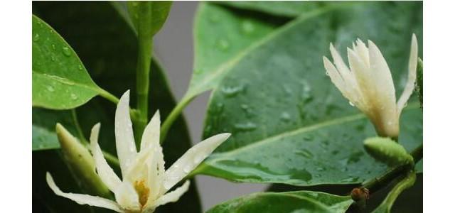 白兰花怎么养殖,白兰花的养殖方法及注意事项