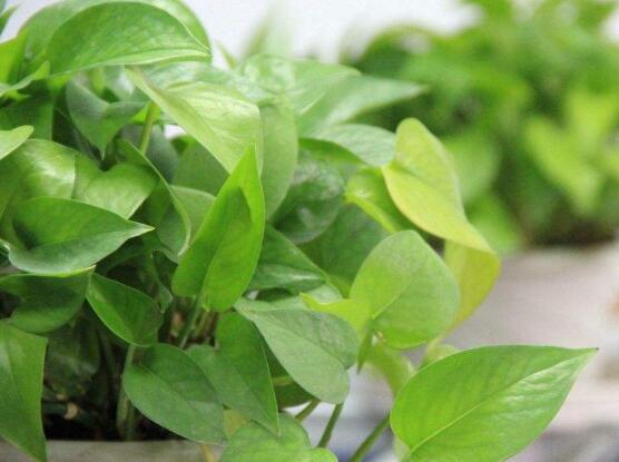 盆栽绿萝病虫害的防治,5种常见病害及解决方法让你告别病虫害