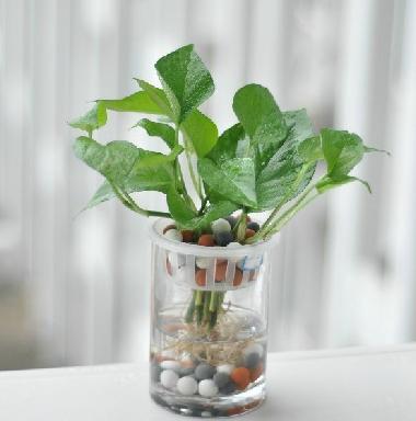小葉綠蘿如何水培