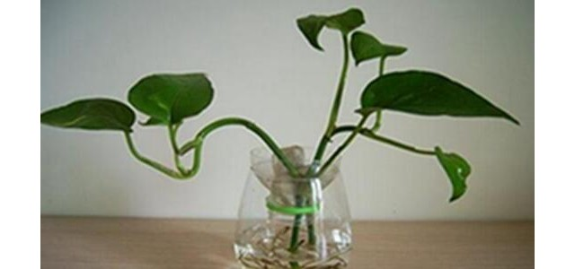 綠蘿需要什么肥料,綠蘿用什么肥料長得快