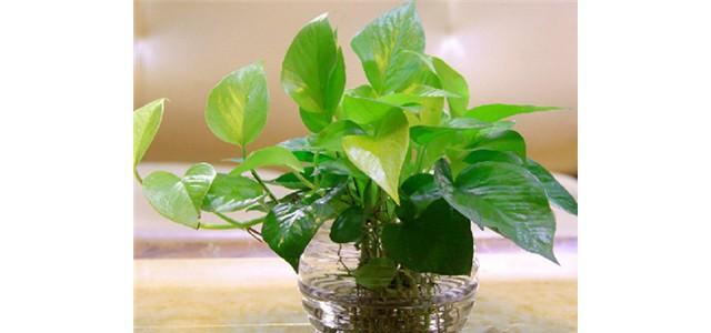 绿萝水养方法
