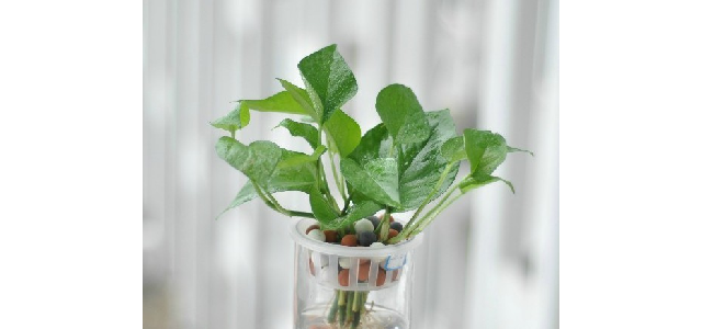 小叶绿萝如何水培