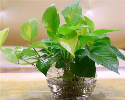 綠蘿水養方法