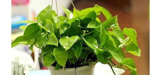 綠蘿有什么寓意,綠蘿的花語是什么/堅韌善良