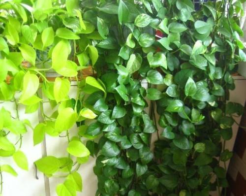 绿萝盆景的制作方法,柱式和垂式、瀑布式两种任你选