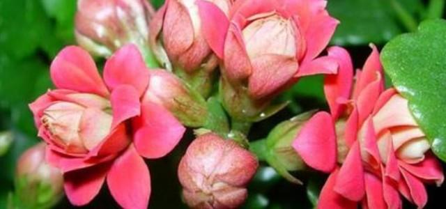 开花后的长寿花怎么剪_长寿花不出花苞