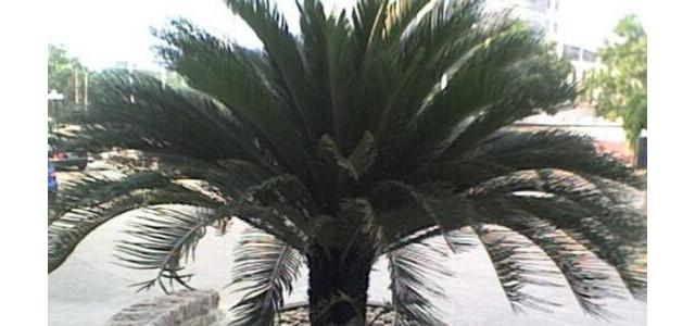 铁树怎么养,铁树的养殖方法和注意事项