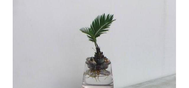 铁树可以水培吗,铁树水培方法