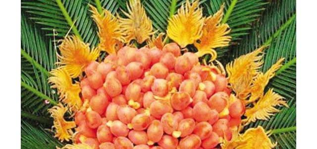 铁树果的功效与作用,化湿降浊、健脾和胃、去痰止咳