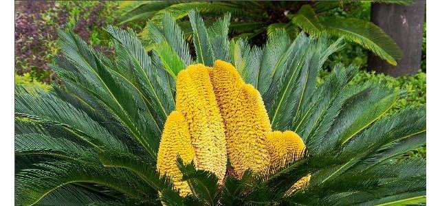 铁树开花是什么征兆,是一种祥瑞之兆