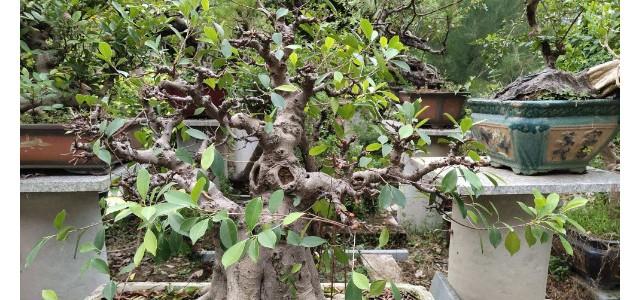 榕树的养殖方法和注意事项,保证修剪工作和优质通风性
